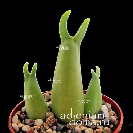 Mitrophyllum MITRATUM Митрофиллум митровидный 1