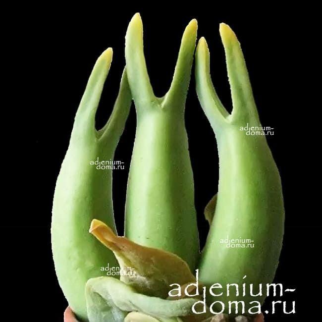 Mitrophyllum MITRATUM Митрофиллум митровидный 2