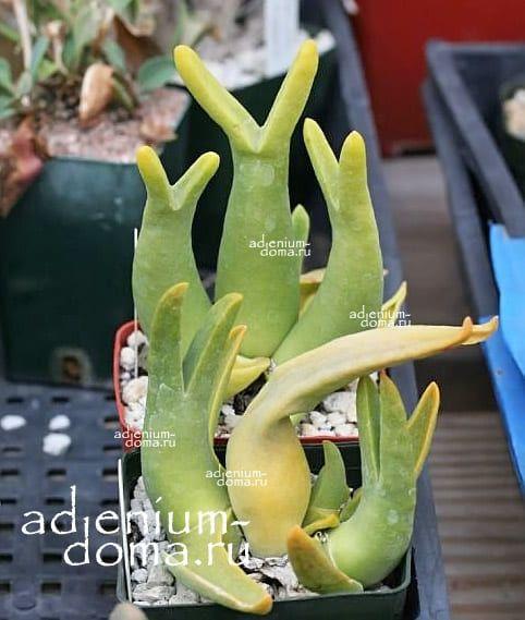 Mitrophyllum MITRATUM Митрофиллум митровидный 3