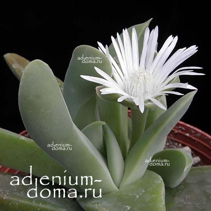 Gibbaeum VELUTINUM ALBUM Гиббеум бархатистый 1