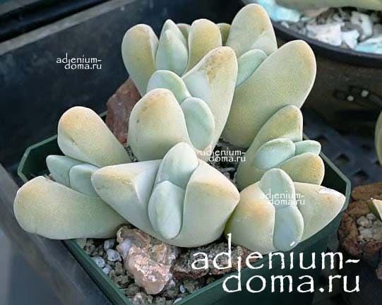 Gibbaeum VELUTINUM ALBUM Гиббеум бархатистый 3
