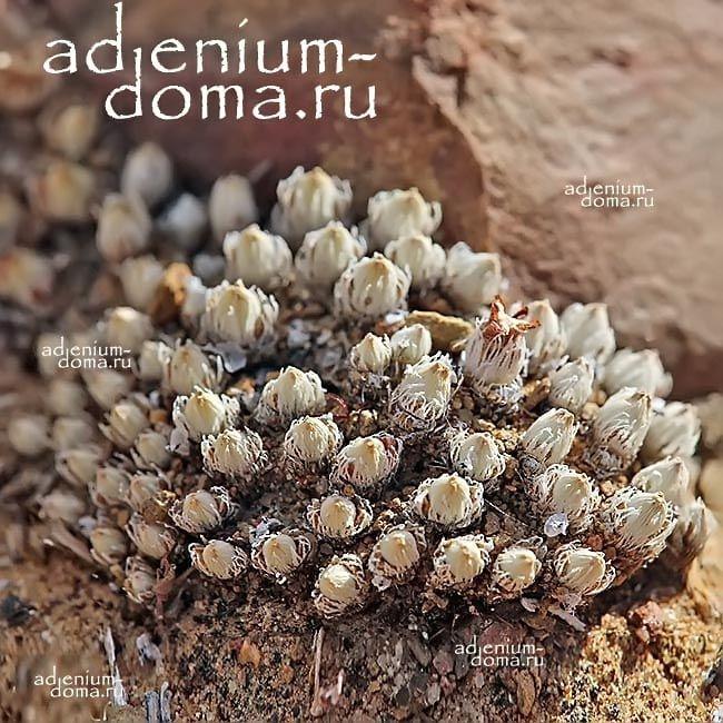 Antimima PYGMAEA Антимима карликовая 2
