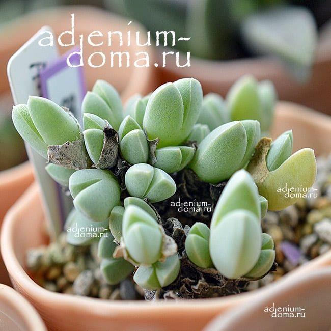 Antimima DUALIS Антимима двойственная 1