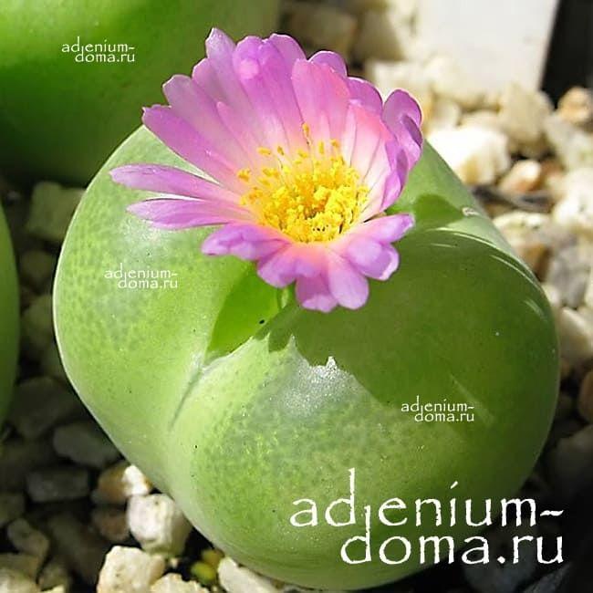 Conophytum SUBFENESTRATUM Конофитум мелкоокончатый 2