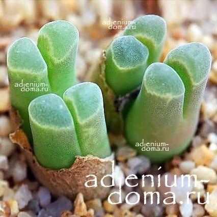 Conophytum LONGUM Конофитум длинный 2