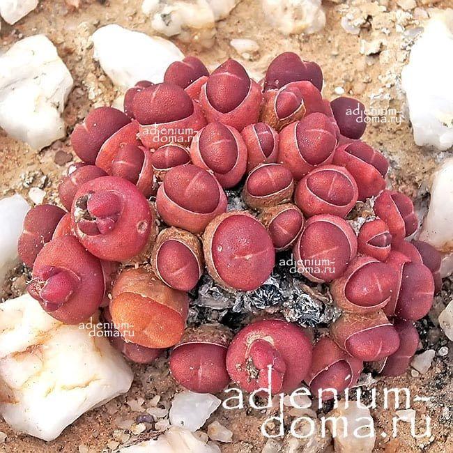 Oophytum NANUM Оофитум карликовый 1