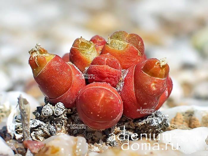 Oophytum NANUM Оофитум карликовый 3