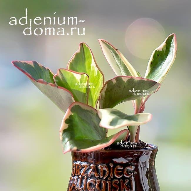 Растение Peperomia CLUSIIFOLIA Пеперомия клузиелистная 1