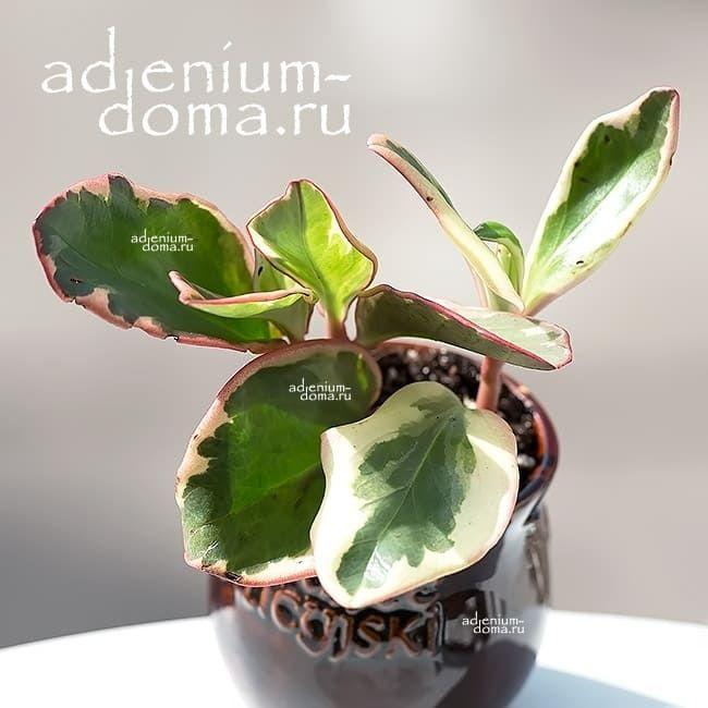 Растение Peperomia CLUSIIFOLIA Пеперомия клузиелистная 2