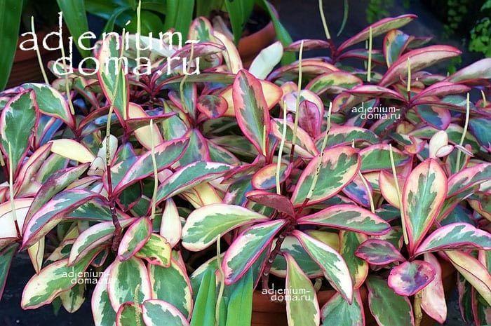 Растение Peperomia CLUSIIFOLIA Пеперомия клузиелистная 3