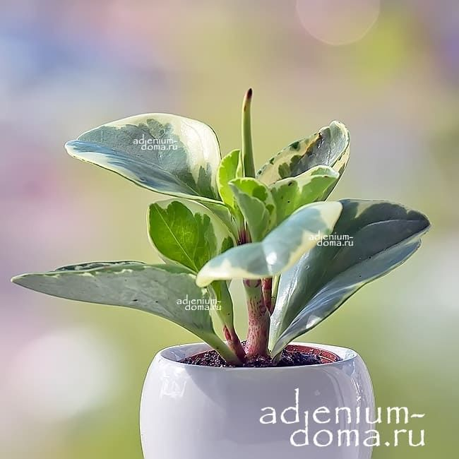 Растение Peperomia OBTUSIFOLIA Пеперомия туполистная 1