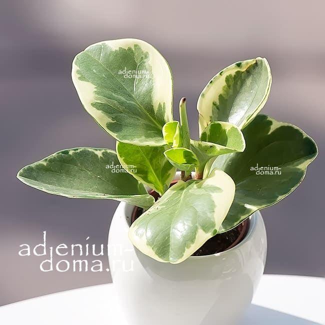 Растение Peperomia OBTUSIFOLIA Пеперомия туполистная 2