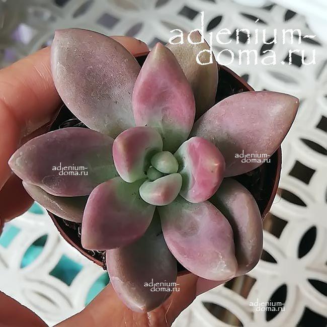 Растение Pachyveria GLAUCA Пахиверия 1