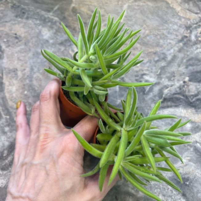 Растение Crassula ARBORESCENS Крассула Толстянка 1
