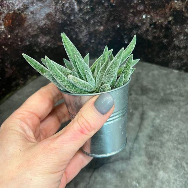 Растение Crassula ARBORESCENS Крассула Толстянка 2