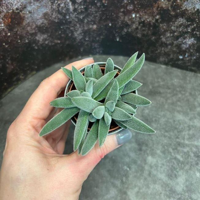Растение Crassula ARBORESCENS Крассула Толстянка 3