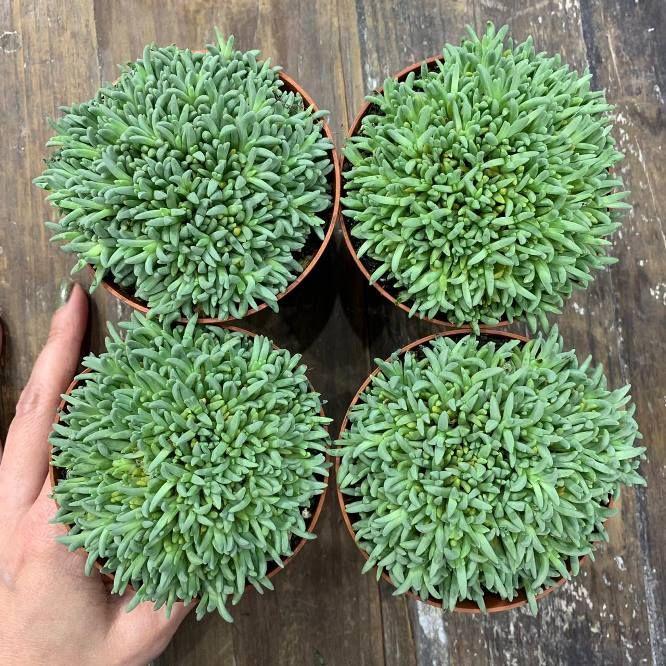 Растение Succulent MIX I Суккулент 2