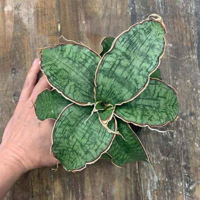 Растение Succulent MIX II Суккулент 3