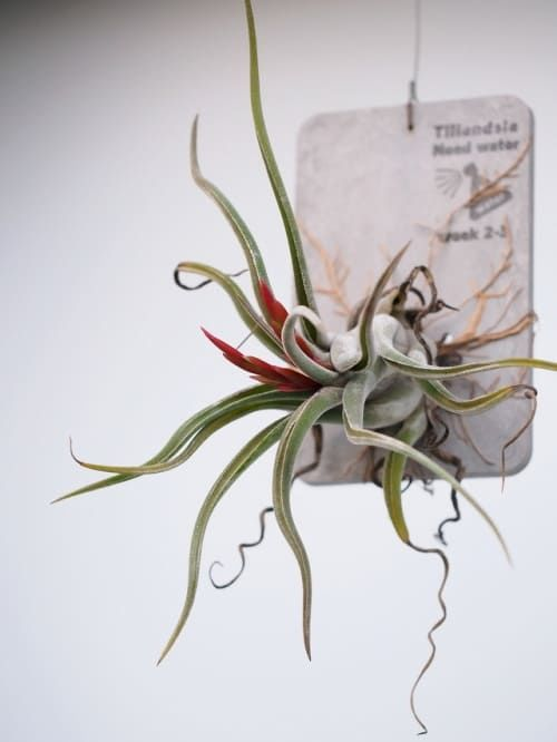 Растение Tillandsia CAPUT MEDUSAE Тилландсия 1