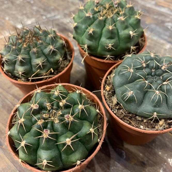 Растение Gymnocalycium MIX I Гимнокалициум 2