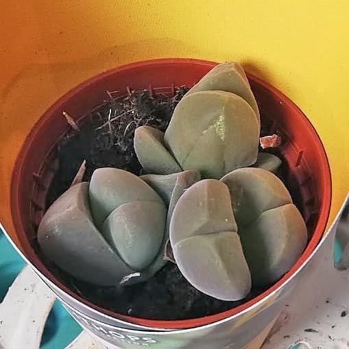 Растение Astrophytum MIX (Астрофитум) 3