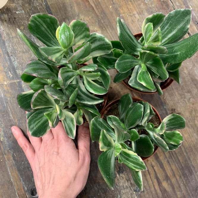 Растение Succulent MIX IV Суккулент 2
