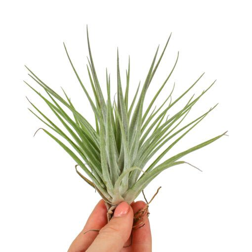Растение Tillandsia MIX II Тилландсия Микс 1