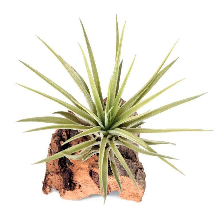 Растение Tillandsia MIX II Тилландсия Микс 2