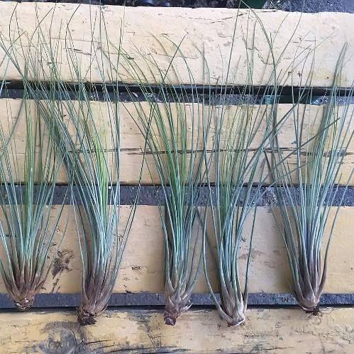 Растение Tillandsia MIX IV Тилландсия Микс 2
