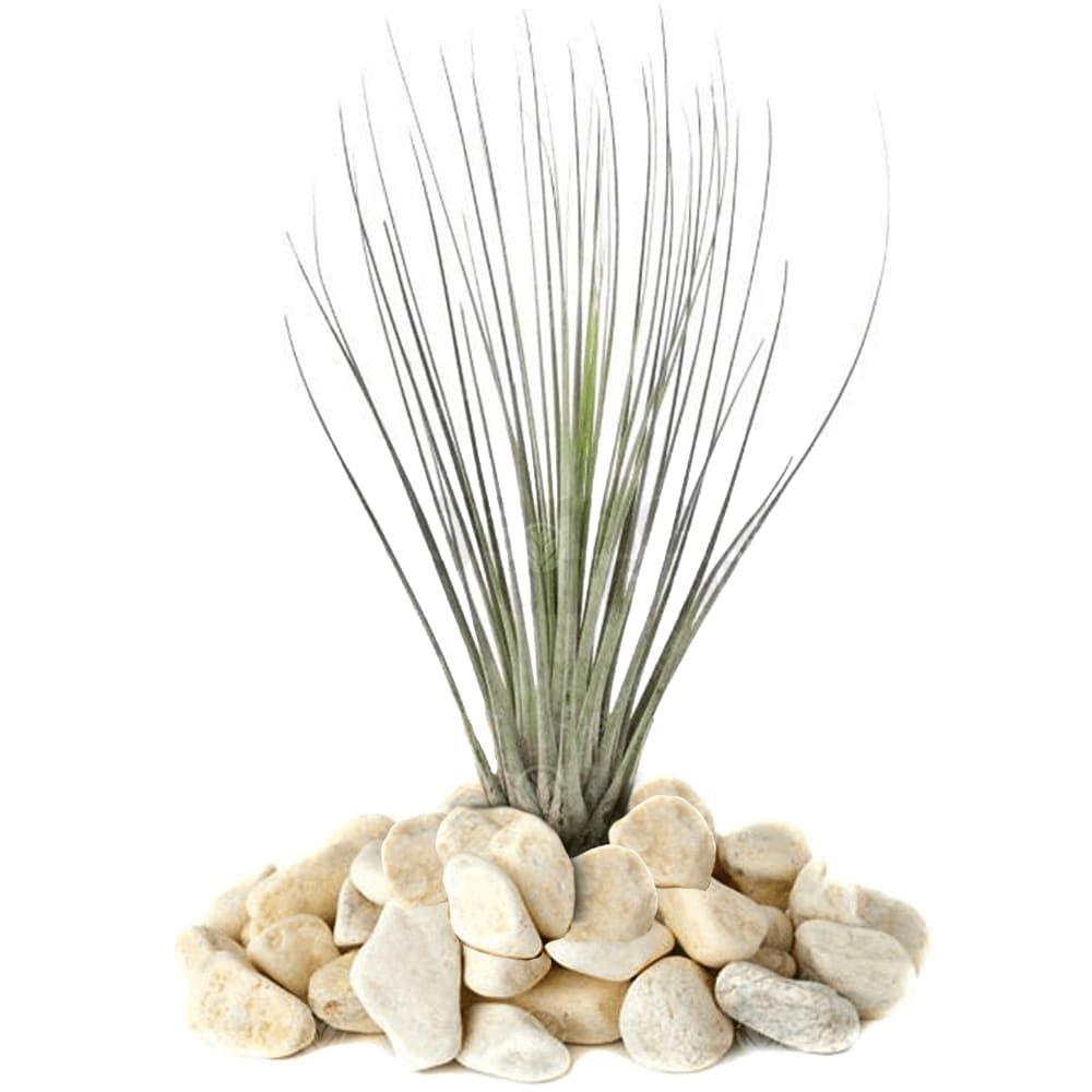 Растение Tillandsia MIX IV Тилландсия Микс 3