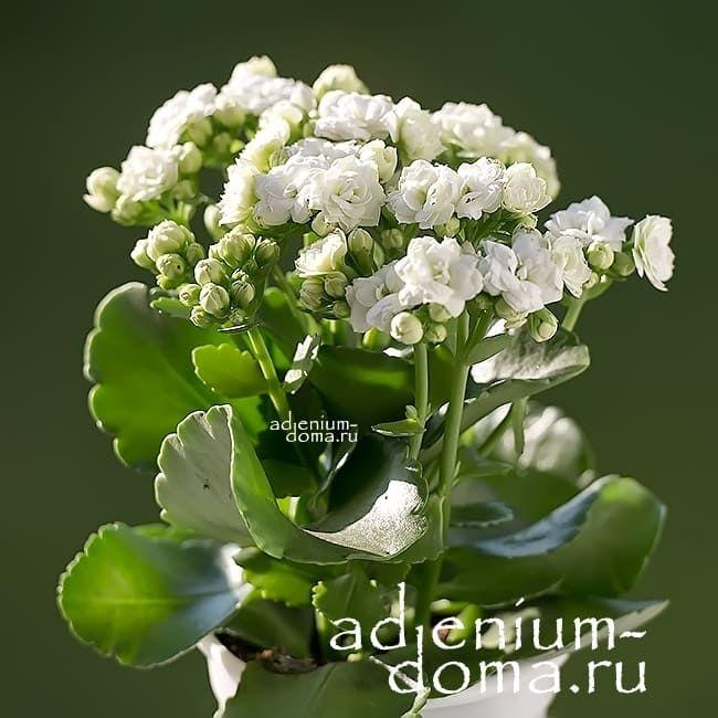 Растение Kalanchoe BLOSSFELDIANA Каланхоэ белое 2