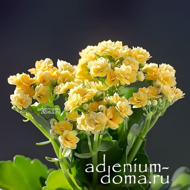 Растение Kalanchoe BLOSSFELDIANA Каланхоэ желтое 2