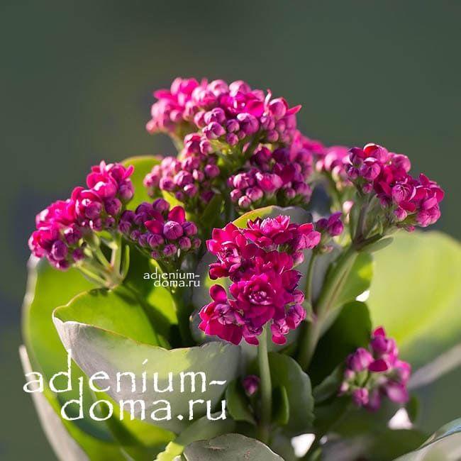 Растение Kalanchoe BLOSSFELDIANA Каланхоэ вишневое 2