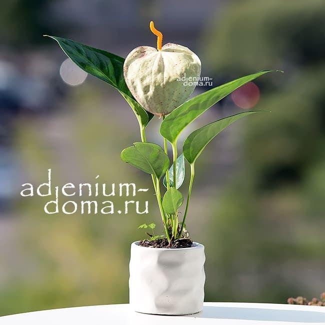 Растение Anthurium MIX Антуриум кремовый 1