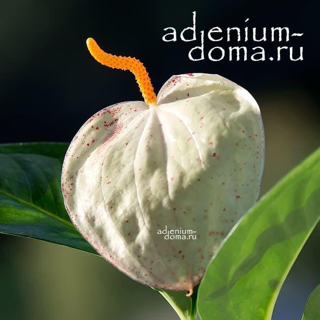 Растение Anthurium MIX Антуриум кремовый 2