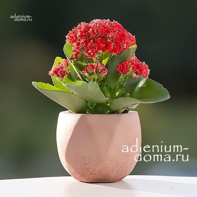 Растение Kalanchoe ROSALINA MINI Каланхоэ Розалина мини красное 1
