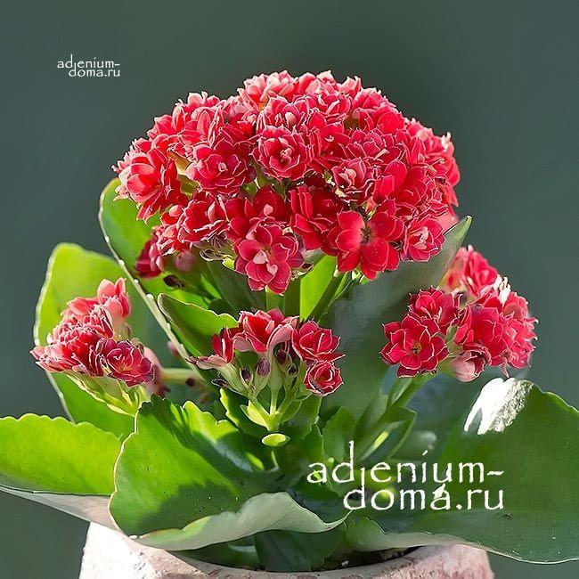 Растение Kalanchoe ROSALINA MINI Каланхоэ Розалина мини красное 2