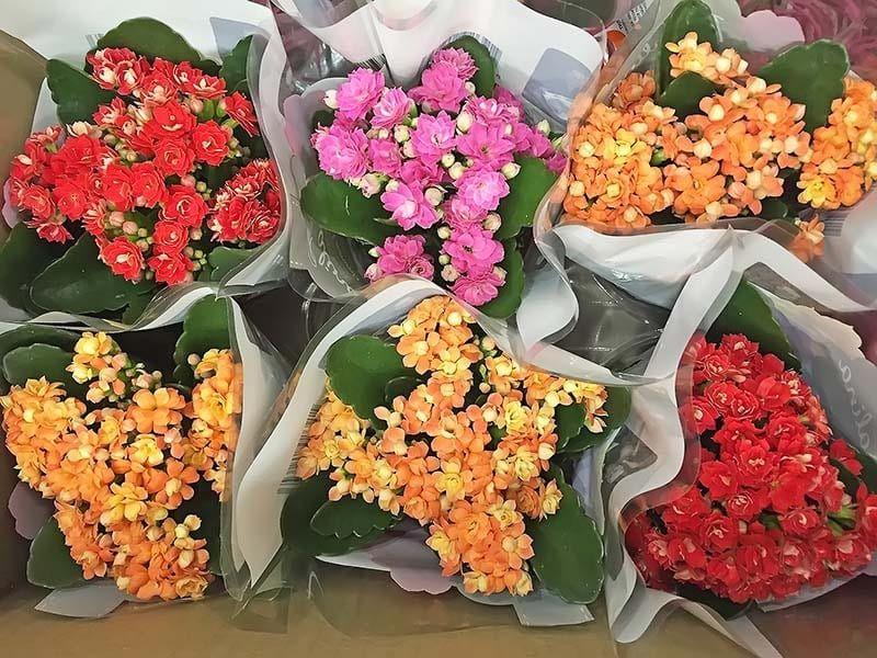 Растение Kalanchoe ROSALINA MINI Каланхоэ Розалина мини красное 3