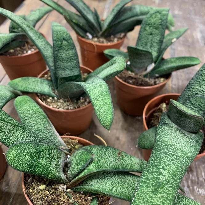 Растение Gasteria MIX IV Гастерия 3