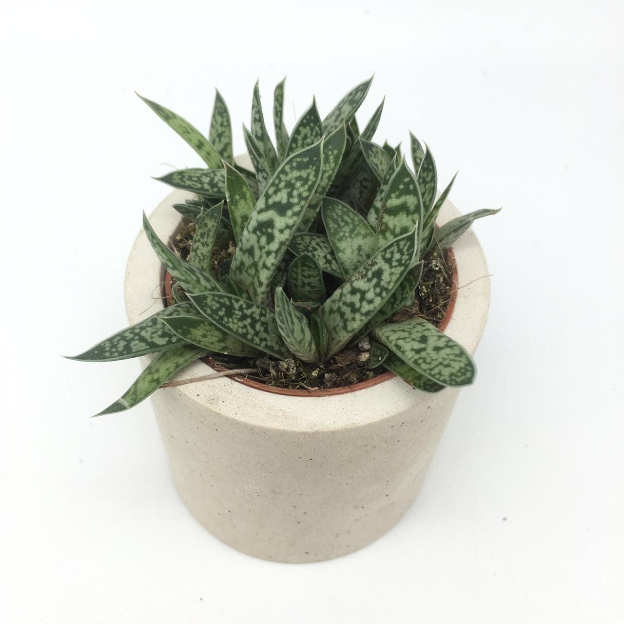 Растение Gasteria MIX VI Гастерия 3