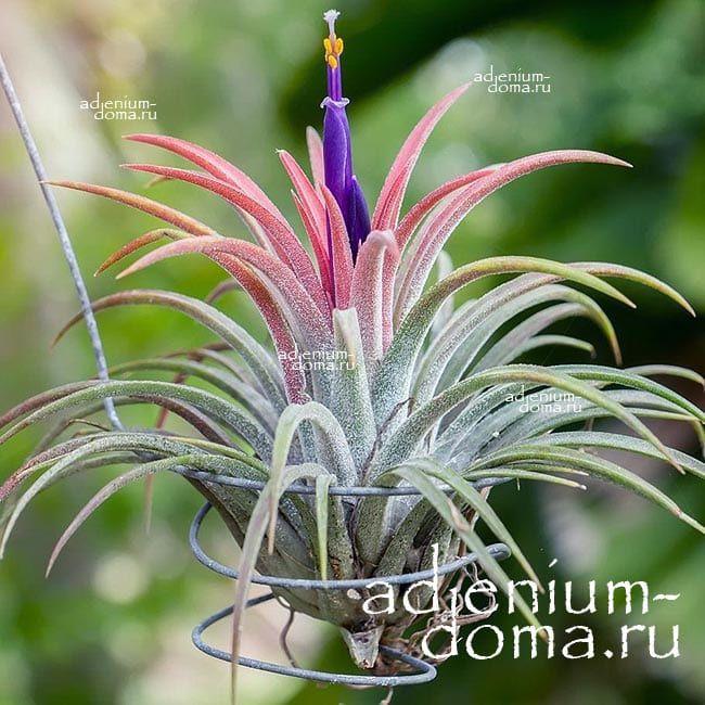 Растение Tillandsia MIX X Тилландсия Микс 1