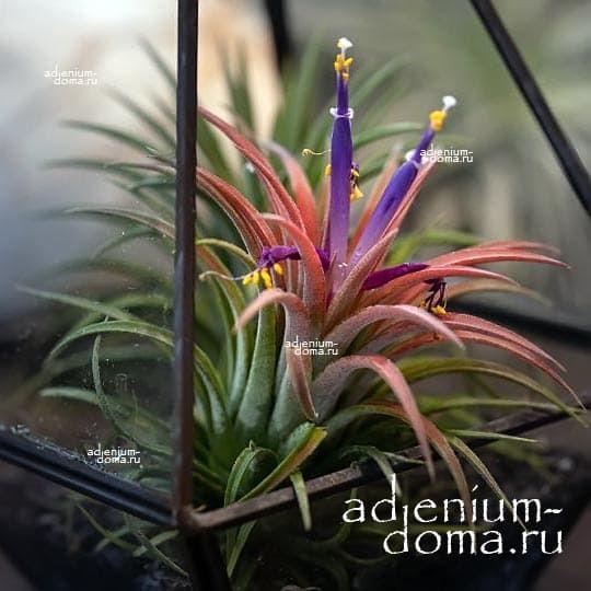 Растение Tillandsia MIX X Тилландсия Микс 2