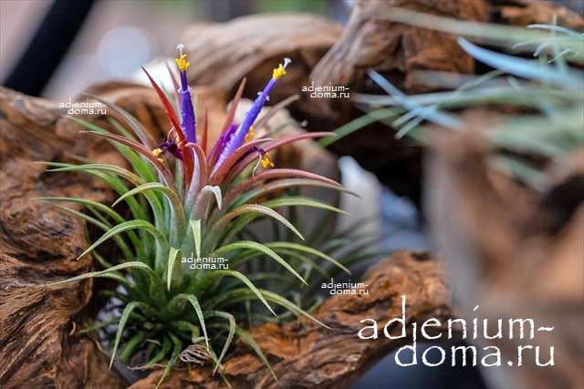 Растение Tillandsia MIX X Тилландсия Микс 3