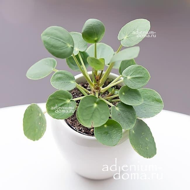 Растение Pilea PEPEROMIOIDES Пилея пеперомиевидная Китайское денежное дерево Японский доллар 1