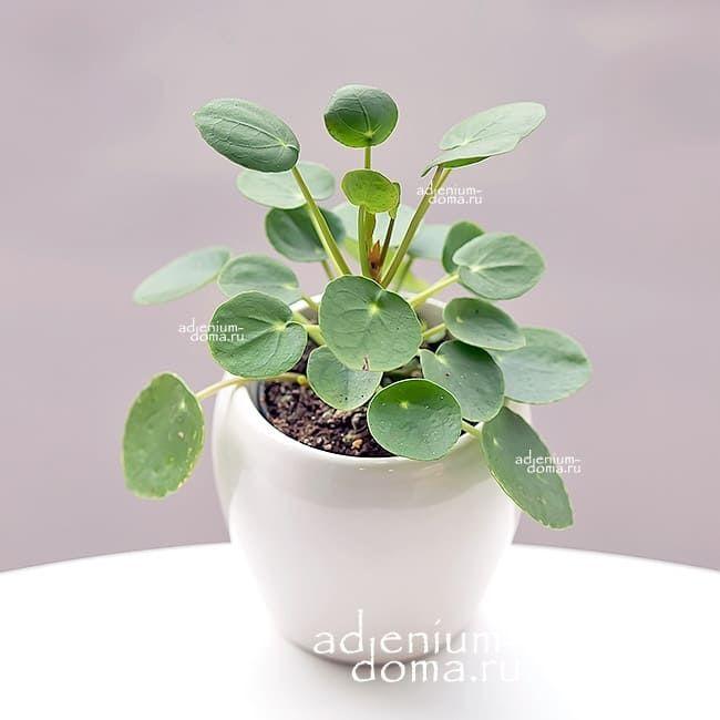 Растение Pilea PEPEROMIOIDES Пилея пеперомиевидная Китайское денежное дерево Японский доллар 2