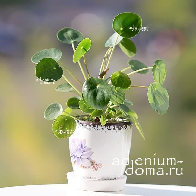 Растение Pilea PEPEROMIOIDES Пилея пеперомиевидная Китайское денежное дерево Японский доллар 3