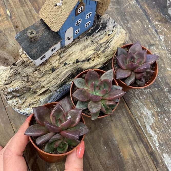 Растение Echeveria AGAVOIDES RUBELLA Эхеверия агавовидная Рубелла 2