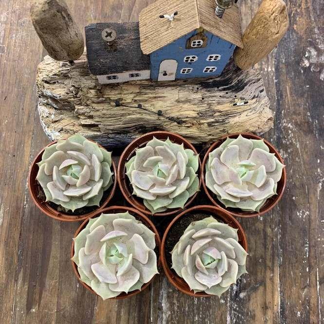 Растение Echeveria LOLA Эхеверия Эчеверия Лола 3