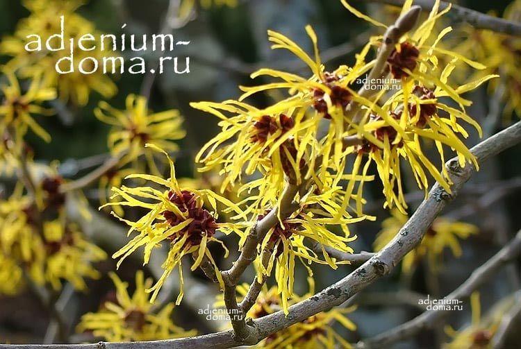 Hamamelis VIRGINIANA Гамамелис вирджинский Ведьмин орех Колдовской орех 3