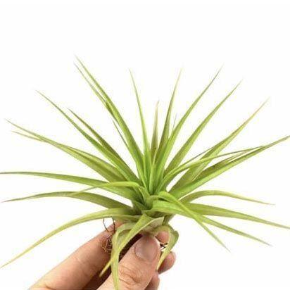 Растение Tillandsia MIX XII Тилландсия Микс 1
